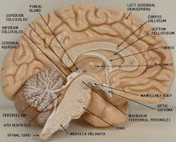 Exercise 17 Gross Anatomy Of The Brain And Cranial Nerves Labeled Brain Model Bing Images Biology Pinterest Brain