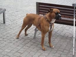 boxer dog 2015 diary boxer dogs 101 fun facts dog boxer u2013 animal facts