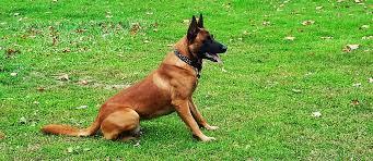 belgian malinois puppies for sale 2016 roy u0026 daitanna gallery u2013 belgian malinois puppies for sale