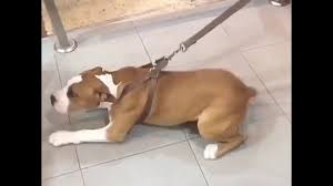 american pitbull terrier in india pitbull in punjab india by love sidhu youtube