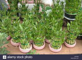 spirally bamboo plants for feng shui ornamental decoration during