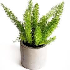 indoor plants india buy foliage plants foliage plants in india indoor plants online
