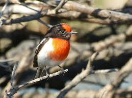 aussie backyard bird count northern beaches council
