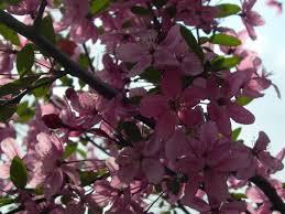 Profusion Flowering Crabapple - favorite photos u2013 page 10