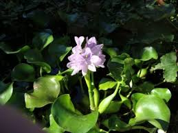 floating pond plants how to use floating plants for ponds