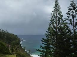 araucaria heterophylla u2013 norfolk island pine gardening with angus