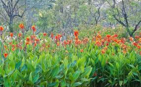 canna lilies cannas canna lilies