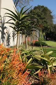 native indigenous plants 85 best planting indigenous sa images on pinterest aloe