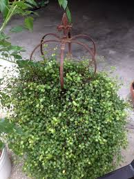 angel vine fountain topiary wire trellis plants and gardens