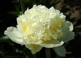 yellow peonies adelman peony gardens llc yellows