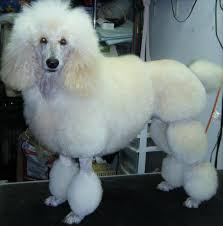 different styles of hair cuts for poodles 10 haircuts for poodles