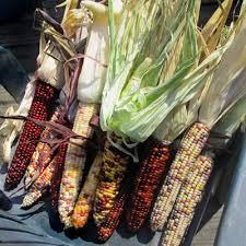 ornamental corn underwood s ornamental harris seeds