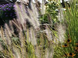 wheatfield nursery home ornamental grasses catch breezes