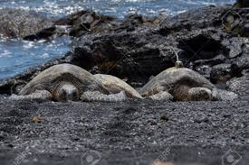 black sand beach big island sea turtle shell drying punalu u black sand beach big island