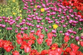 5 spring flower festivals around tokyo tokyo cheapo