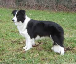 belgian shepherd or border collie border collie pictures