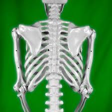 life size posable skeleton halloween realistic posable skeleton prop 5ft 379705 trendyhalloween com