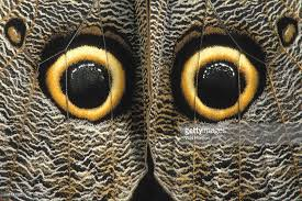eye spots on the outer hindwings of a owl butterfly caligo