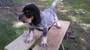 names for a bluetick coonhound male 2 jpg