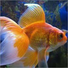 789 best goldfish images on aquarium fish goldfish