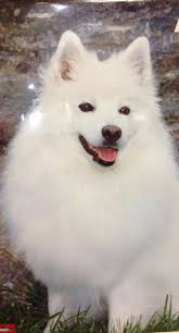 affenpinscher in orlando fl 686 best designer dogs ii images on pinterest akita dog breeds