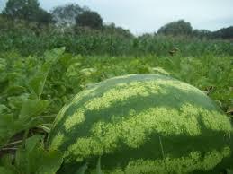 nadia eggplant sustainable market farming