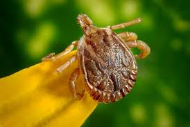 the ultimate oklahoma summer guide to ticks acenitec pest and