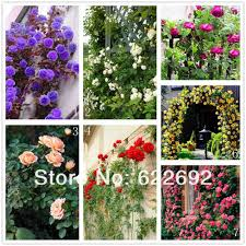 online get cheap climbing flower seeds aliexpress com alibaba group