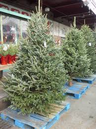 when can i put my christmas tree out for pickup in broo