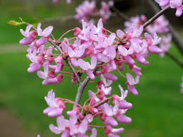 eastern redbud flower google search planting materials