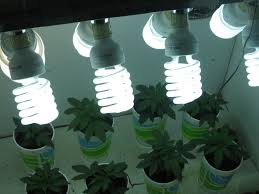 cfl grow lights for indoor plants cannabis gold the best use of marijuana grow lights green
