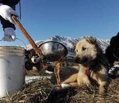 52 best sled dogs mushers Alaska images on Pinterest