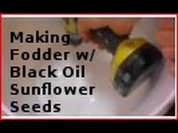 making fodder w black oil sunflower seeds youtube