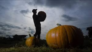 watch 10 000 pumpkins ready for harvest in time for halloween