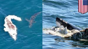 great white sharks feed on whale carcass off north truro caught on