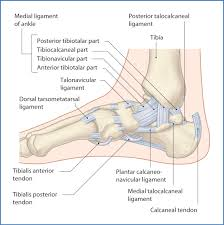 Lateral Collateral Ligament Ankle Ankle And Foot Joints Basicmedical Key