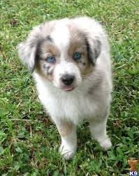 1 month old australian shepherd free toy australian shepherds hollywood fl usa miniature