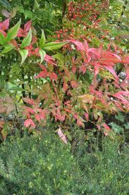 woodbrook native plant nursery hamemelis x intermedia u0027arnold u0027s promise u0027 my own personal jungle