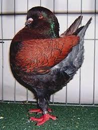 fancy pigeon revolvy