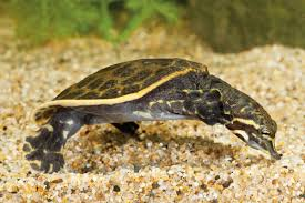 Blind Turtle Prices How To Care For Soft Shelled Turtles