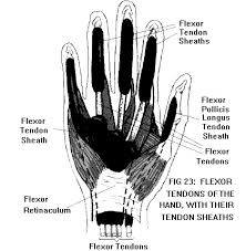 Tendon Synovial Sheath Anatomy