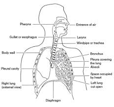 Human Anatomy Worksheet Respiratory Digestive Systems Worksheet Inner Body Archives Page