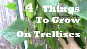 How To Grow Cucumbers On A Trellis Trellis Gardening 4 Things You Can Grow On A Trellis Cucumbers