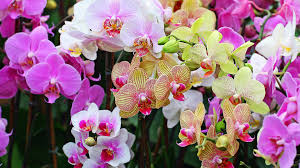 orchids pictures plant care hydroponic feed schedule for growing orchids indoor