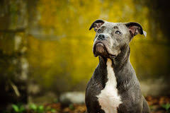 blue nose american pitbull terrier blue american pitbull terrier dog stock photo image 96422341