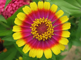 zinnia flower circus act zinnia flower seed pack garden outdoor