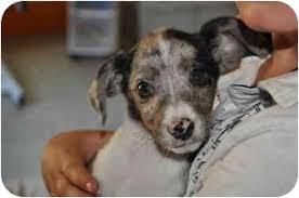 australian shepherd utah rescue tattoo adopted puppy slc ut australian shepherd toy fox