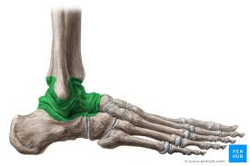 Anterior Distal Tibiofibular Ligament Joints And Ligaments Of The Foot Anatomy Kenhub
