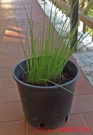 erba cipollina in vaso coltivare l erba cipollina sul balcone