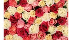 colorful roses colorful roses 4k wallpaper free 4k wallpaper